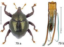 Figure 79. Trigonopterus rotundulus Riedel, sp. n., holotype; a habitus b penis.