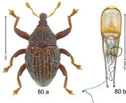 Figure 80. Trigonopterus rudis Riedel, sp. n., holotype; a habitus b penis.