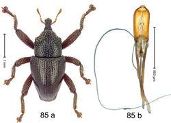 Figure 85. Trigonopterus scabripes Riedel, sp. n., holotype; a habitus b penis.