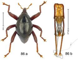 Figure 86. Trigonopterus scaphiformis Riedel, sp. n., holotype; a habitus b penis.