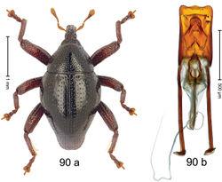 Figure 90. Trigonopterus seticnemis Riedel, sp. n., holotype; a habitus b penis.