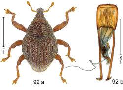 Figure 92. Trigonopterus squalidulus Riedel, sp. n., holotype; a habitus b penis.