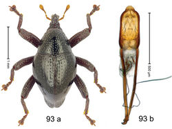 Figure 93. Trigonopterus sulawesiensis Riedel, sp. n., holotype; a habitus b penis.