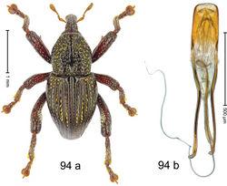 Figure 94. Trigonopterus suturatus Riedel, sp. n., holotype; a habitus b penis.