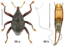 Figure 96. Trigonopterus tenuipes Riedel, sp. n., holotype; a habitus b penis.