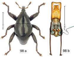 Figure 98. Trigonopterus toraja Riedel, sp. n., holotype; a habitus b penis.