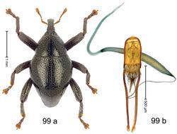 Figure 99. Trigonopterus vicinus Riedel, sp. n., holotype; a habitus b penis.