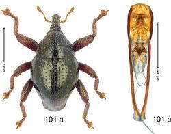 Figure 101. Trigonopterus volcanorum Riedel, sp. n., holotype; a habitus b penis.