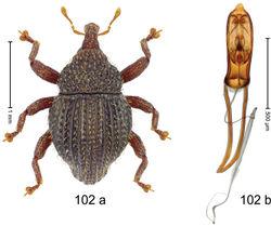 Figure 102. Trigonopterus wangiwangiensis Riedel, sp. n., holotype; a habitus b penis.