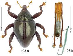 Figure 103. Trigonopterus watsoni Riedel, sp. n., holotype; a habitus b penis.