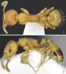 Figures 1, 2. Worker of Temnothorax brackoi sp. nov. 1 Dorsal 2 Lateral.