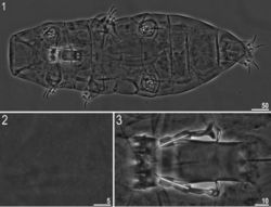 Figures 1–3. Milnesium matheusi sp. nov. 1 Habitus (ventral view) (holotype) 2 dorsal cuticle with pseudopores (holotype) 3 buccal tube (holotype). All in PCM.