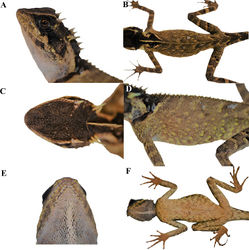 Figure 4. Adult female paratype (KIZL201805) of Acanthosaura tongbiguanensis sp. nov. in life A lateral view of the head B dorsal view of the body C dorsal view of the head D lateral view of the body E ventral view of the head F ventral view of the body.