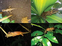 Figure 10. Acanthosaura tongbiguanensis sp. nov. A live adult male on the ground B live adult female on a leaf C live adult female asleep on a branch D live juvenile asleep on branches and leaves.