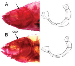 Figure 9. Alizarin-stained specimens showing cephalic sensory canals and infraorbitals in AEnteromius yardiensis sp. nov. (same specimen as in Fig. 8) BEnteromius sp. CMER, NMW 99237, Lake Ziway (site 8), 34.8 mm SL. Arrows showing part of frontal with no canal in A and medial branch of supraorbital canal (CSO) in B.