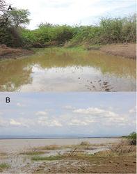 "Figure 11. Habitat of Enteromius yardiensis sp. nov. A Side channel of Awash R. at Kada Bada (site 2; 10°13'53""N, 40°34'43""E; 562 m a.s.l.), type locality of E. yardiensis sp. nov. B Lake Yardi (site 1; 10°15'10""N, 40°32'9""E; 562 m a.s.l.)."