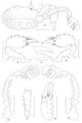Figures 32–39. Plistobunus jaegeri sp. nov., male holotype 32 body, lateral view 33 left chelicera, medial view 34 same, lateral view 35 left basichelicerite, dorsal view 36 left cheliceral hand, frontal view 37 left cheliceral fingers, frontal view 38 left pedipalp, medial view 39 same, lateral view. Scale bars: 1 mm (32–36, 38, 39), 0.5 mm (37).