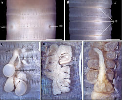 Figure 6. Metaphire houlleti (Perrier, 1872) A Male region, ventral view B spermathecal region, lateral view C left spermatheca D left prostatic gland E intestinal caecum. Scale bar: 1mm.