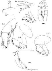 Figure 8. Metopa rubrovittata Sars, 1883 male 3 mm; Md mandible; Mxp maxilliped; A 1, 2 antenna 1, 2; Gn 1, 2 gnathopod 1, 2; Gn 1', Gn 2' gnathopod 1, 2 distally enlarged.