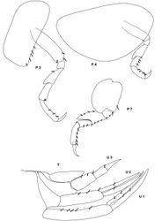 Figure 9. Metopa rubrovittata Sars, 1883 male 3 mm; P 3, 4, 7 peraeopod 3, 4, 7; U 1–3 uropod 1–3; T telson.