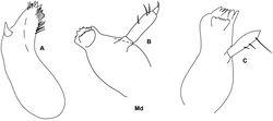 Figure 10. Stenula latipes Chevreux & Fage, 1925: Md A mandible A; Metopa rubrovittata Sars, 1892: Md B, C mandible B, C.