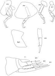 Figure 13. Stenula peltata (Smith, 1872): illustration of the single type specimen; P 3, 4 5, 7 peraeopod 3, 4, 5, 7; Ep 3 third epimeral plate; U 1, 2, 3 uropod 1, 2, 3; T telson.