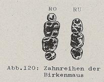 Zahnreihen der Birkenmaus - DJN (1994) - Peter Boye - Heimische Säugetiere