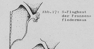 DJN Heimische Säugetiere Peter Boye 1994 Abb.17 S-Flughaut der Fransenfledermaus.PNG