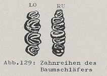 Zahnreihen des Baumschläfers - DJN (1994) - Peter Boye - Heimische Säugetiere