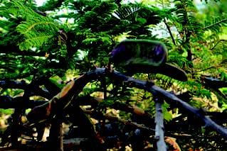 Fichier:Acacia abyssinica fruits Bekele-Tessemma Ethiopia.jpg
