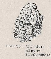 Ohr der Alpenfledermaus - DJN (1994) - Peter Boye - Heimische Säugetiere