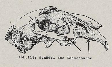 DJN Heimische Säugetiere Peter Boye 1994 Abb.115 Schädel des Schneehasen.PNG
