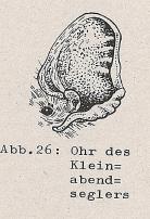 Ohr des Kleinabendseglers - DJN (1994) - Peter Boye - Heimische Säugetiere