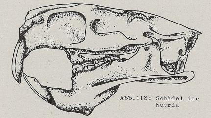 DJN Heimische Säugetiere Peter Boye 1994 Abb.118 Schädel der Nutria.PNG