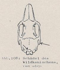DJN Heimische Säugetiere Peter Boye 1994 Abb.108 Schädel des Wildkaninchens, von oben.PNG