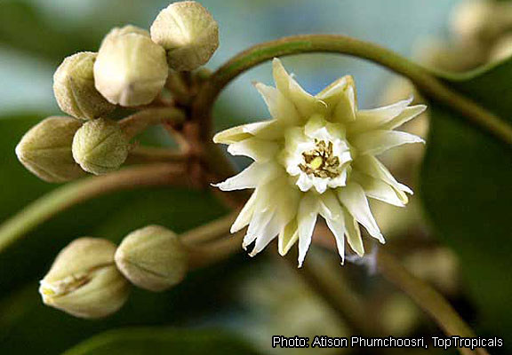 Fichier:Mimusops elengi Toptropicals Atison Phumchoosri flower.jpg