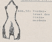 DJN Heimische Säugetiere Peter Boye 1994 Abb.52 Vorderbrust des Baummarders.PNG