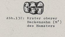 DJN Heimische Säugetiere Peter Boye 1994 Abb.132 Erster oberer Eckzahn des Hamsters.PNG