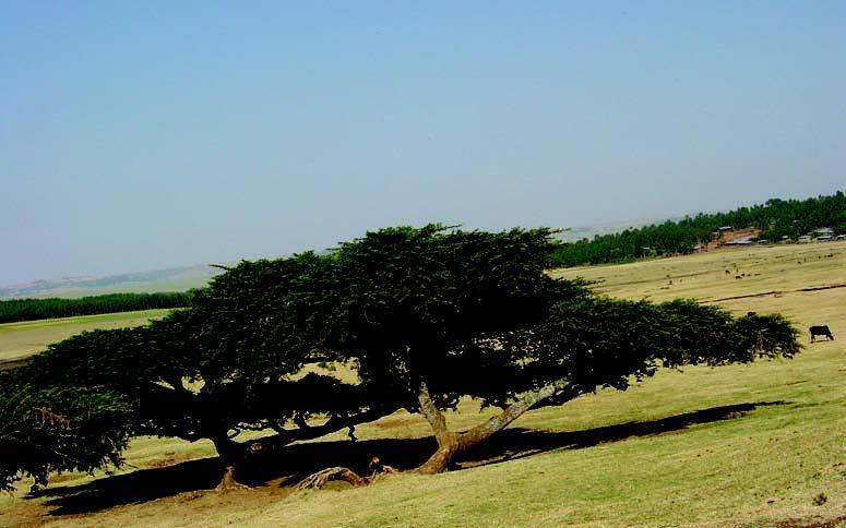 Fichier:Acacia abyssinica habit Bekele-Tessemma Ethiopia.jpg