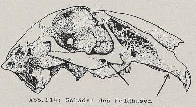 DJN Heimische Säugetiere Peter Boye 1994 Abb.114 Schädel des Feldhasen.PNG