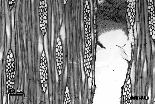 Fichier:Gmelina arborea tan.jpg