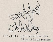 Zahnreihen der Alpenfledermaus - DJN (1994) - Peter Boye - Heimische Säugetiere