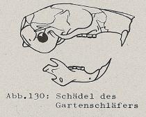DJN Heimische Säugetiere Peter Boye 1994 Abb.130 Schädel des Gartenschläfers.PNG