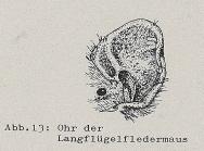 DJN Heimische Säugetiere Peter Boye 1994 Abb.13 Ohr der Langflügelfledermaus.PNG