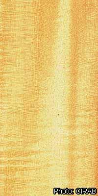 Fichier:Gmelina arborea bois CIRAD.jpg