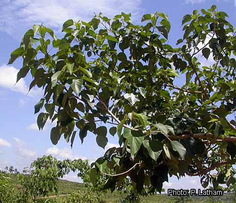 Fichier:Gmelina arborea LA1.jpg