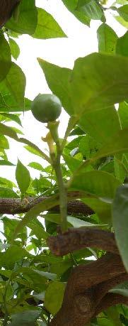 Citrus sinensis pousse 2 TRAMIL.jpg