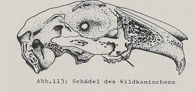DJN Heimische Säugetiere Peter Boye 1994 Abb.113 Schädel des Wildkaninchens.PNG