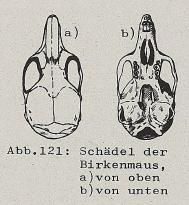 Schädel der Birkenmaus - DJN (1994) - Peter Boye - Heimische Säugetiere