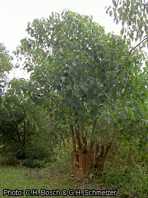 Fichier:Gmelina arborea resprouting trunk 0856.jpg